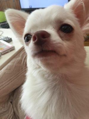 picture of dog kohaku