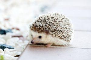 hedgehog photos