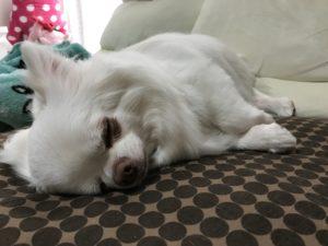 チワワのコハクが横になって眠っている
