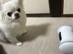 フィットネスAIロボットとチワワのコハクの距離が近い写真